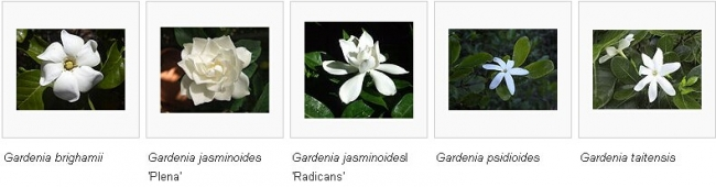 Gardenias in different countries